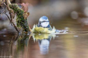 Le bain de la mésange bleue