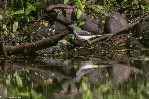 Bergeronnette des ruisseaux, femelle